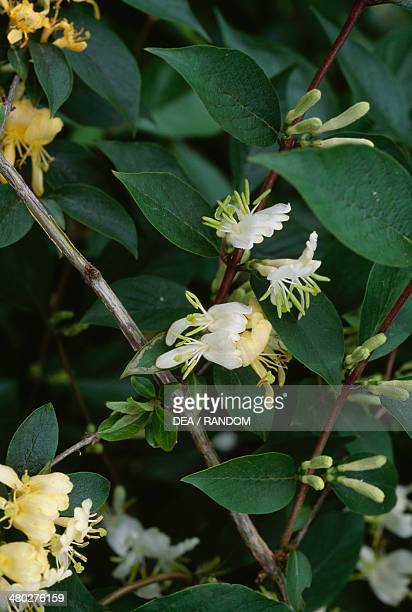 Translucent Honeysuckle Caprifoliaceae