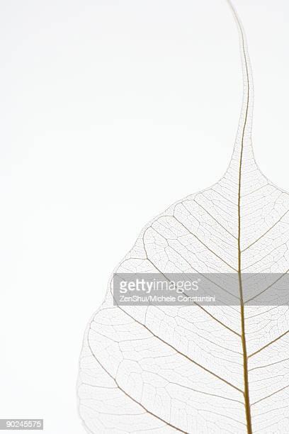translucent leaf, close-up, cropped - bladnerf stockfoto's en -beelden