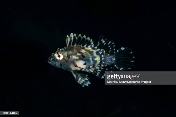 Transluscent juvenile lionfish profiled against black water.