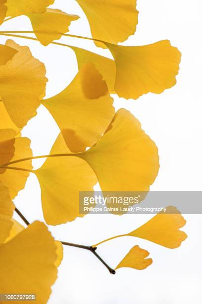 transparency yellow - ginkgo tree stock pictures, royalty-free photos & images