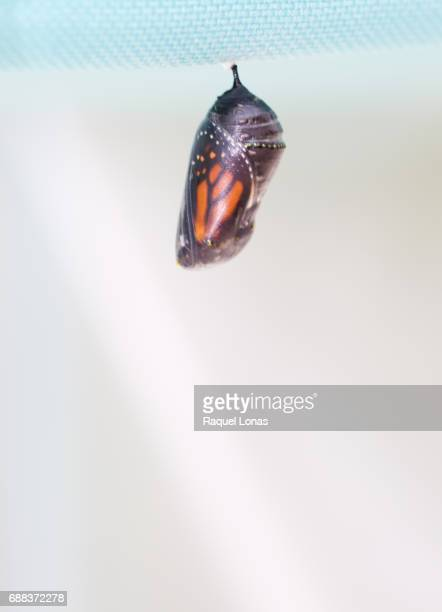 transparent chrysalis in final stage - cocoon stock pictures, royalty-free photos & images