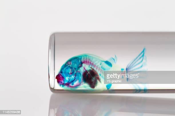 transparent skeleton specimen of fish - fish skeleton stock photos and pictures