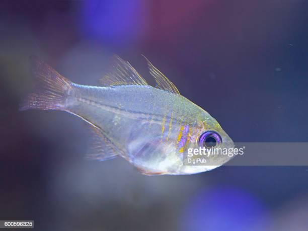 Transparent tropical fish in water tank