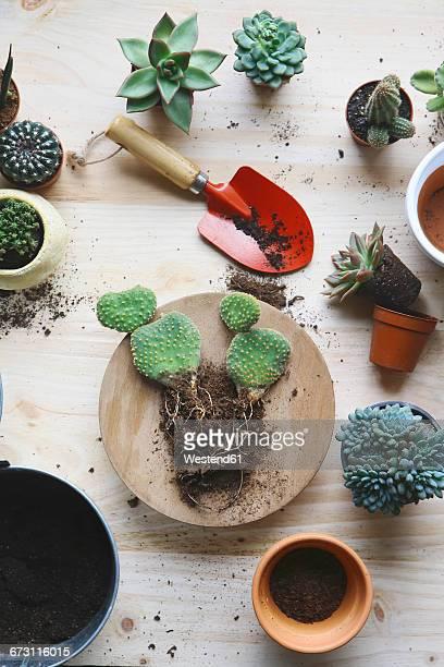 Transplant cacti , opuntia microdasys, on woode