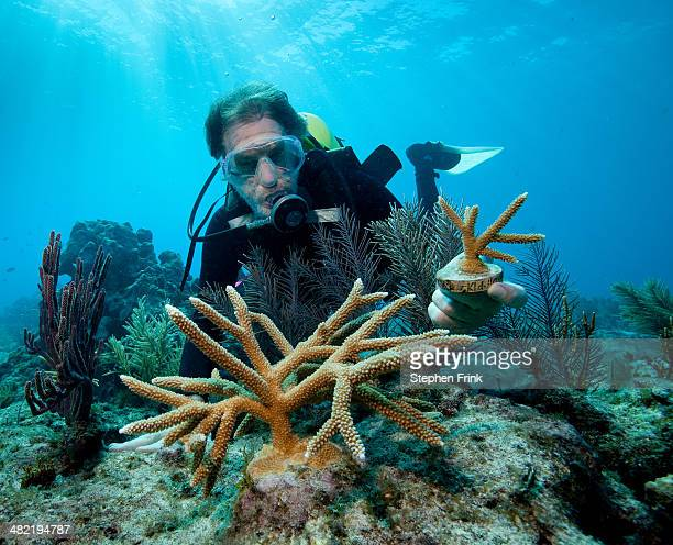 Transplanting corals.