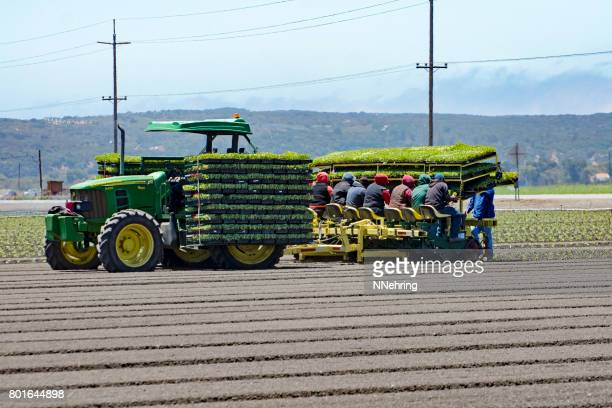 transplanting vegetable seedlings into field with mechanical transplanter
