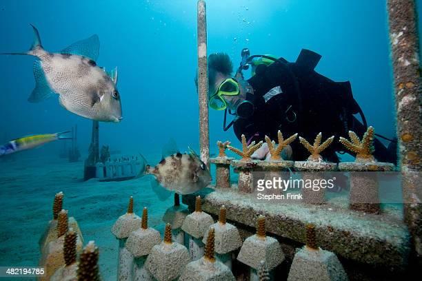 CRF transplants corals.