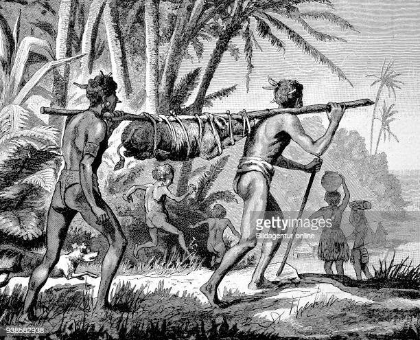Transport of a living pig to the market in New Guinea agriculture natives historical image or illustration from the year 1894 digital improved