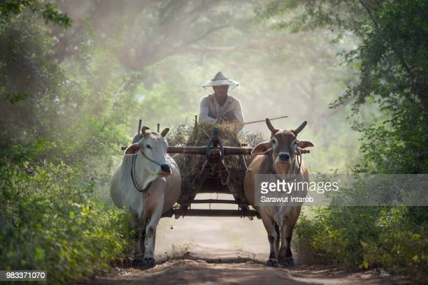transport - working animal stock pictures, royalty-free photos & images