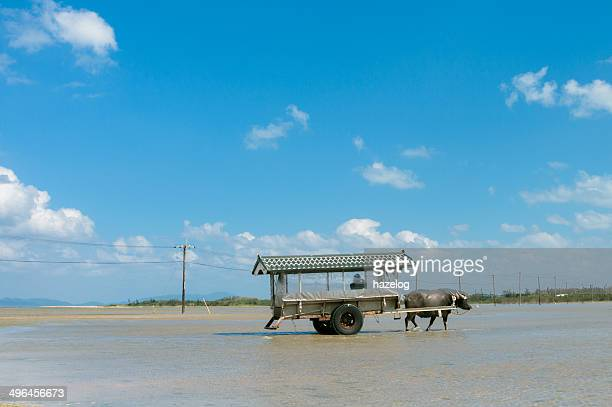 Transportation to island by water buffalo cart