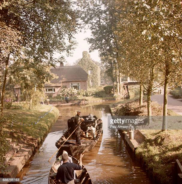 Transporting cattle by barge in Giethoorn Netherlands where the village is entirely surrounded by canals making water transportation necessary