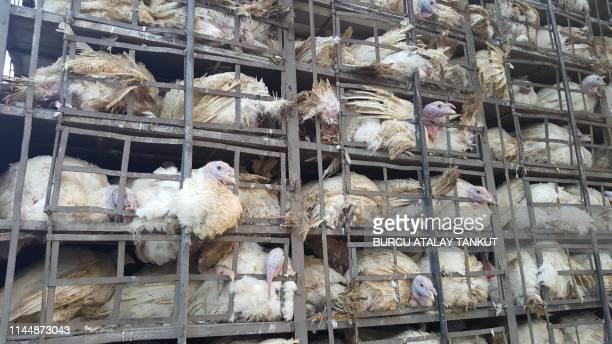 transporting chickens - sfruttamento degli animali foto e immagini stock