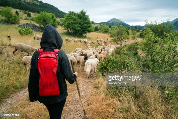 Transumanza of sheep in Italy