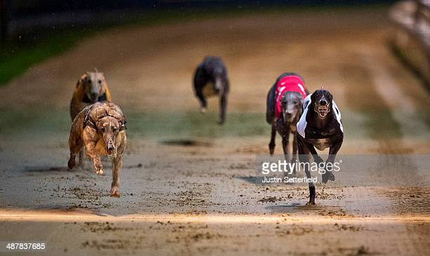 Trap 4 General Wolf wins race 7 of the William Hill Wimbledon Derby 1st round Heats at Wimbledon greyhound track on May 01 2014 in London England