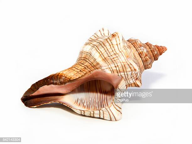 Trapezium Horse Conch Shell on White Background