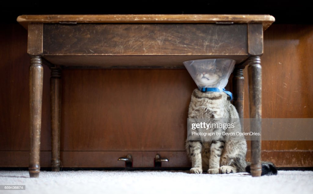 Trapped Cat with a Medical Cone : Stock Photo