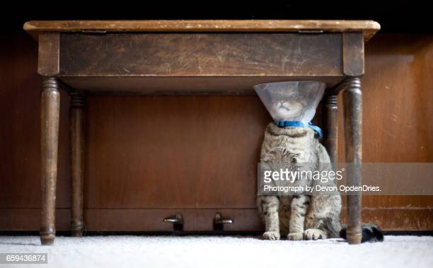 trapped cat with a medical cone - cone shape stock pictures, royalty-free photos & images