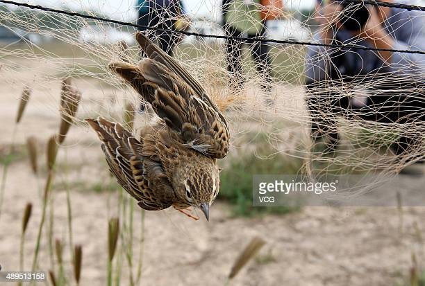 A trapped lark at Xi'an Xianyang International Airport on September 19 2015 in Xi'an Shaanxi Province of China Flying birds could impact the...
