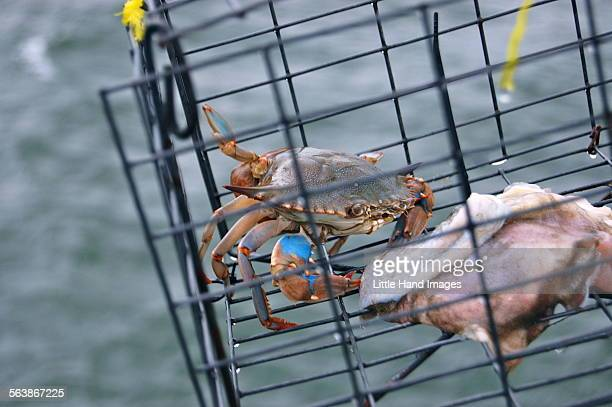 trapped - crab pot stock photos and pictures