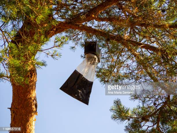 a trapping trap with pheromones of adult processionary pine butterflies (thaumetopoea pityocampa) hanging from a pine branch - orticaria foto e immagini stock