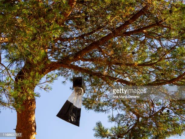 a trapping trap with pheromones of adult processionary pine butterflies (thaumetopoea pityocampa) hanging from a pine branch - ronchas fotografías e imágenes de stock