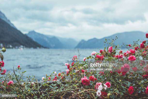 traunsee with flowers. - julia rose stock photos and pictures
