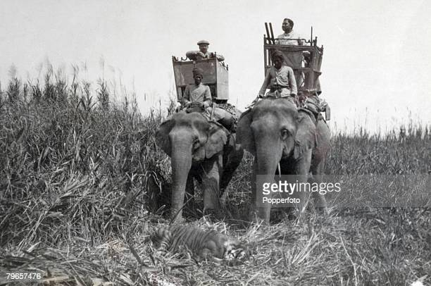 Travel India Assam near Bijni Circa 1900's A tiger hunting party travelling by elephant arrive at a tiger that has just been shot