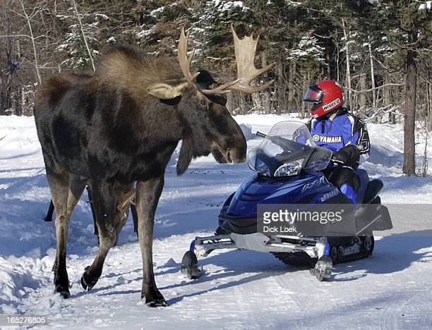 Travel piece by Sue Pigg on the Bull Moose wildlife reserve and snowmobiling Richard Lafleur owner partner is kissed by one of his Elks Troy...