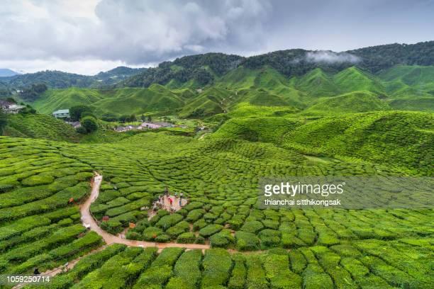 travel travel at tea plantation at cameron highland, Malaysia