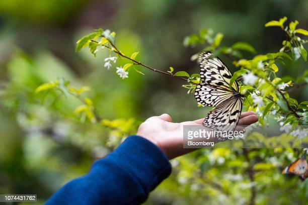 A traveler touches a butterfly in the Butterfly Garden at Terminal 3 of Changi Airport in Singapore on Thursday Dec 13 2018...