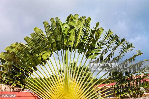 A Traveler's Palm