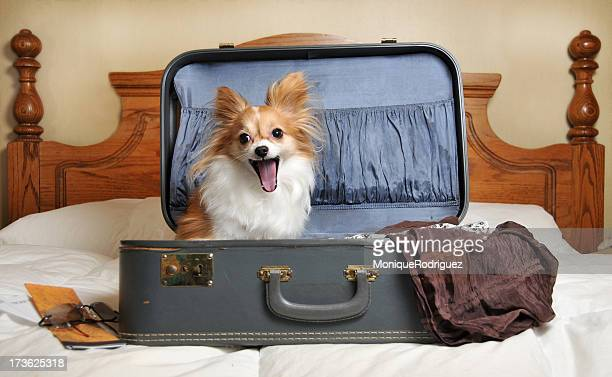 traveling companion - papillon dog stock photos and pictures