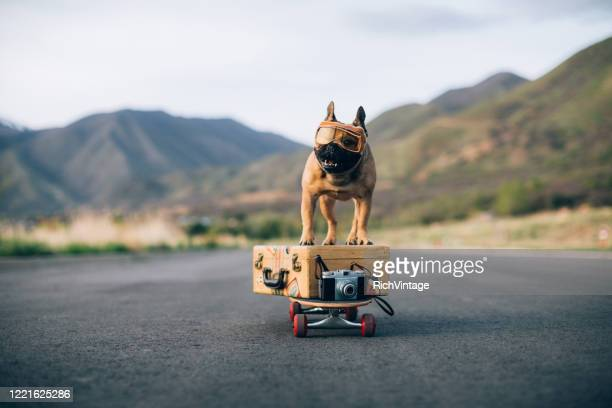 traveling french bulldog - domestic animals stock pictures, royalty-free photos & images