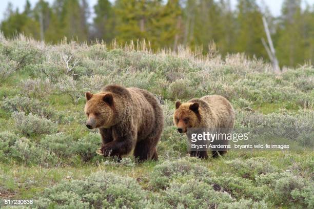traveling - yellowstone national park stock pictures, royalty-free photos & images