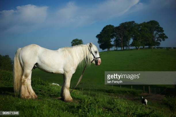 Traveller horses are tethered in a field in a campsite on the first day of the Appleby Horse Fair on June 7 2018 in Appleby EnglandThe fair is an...