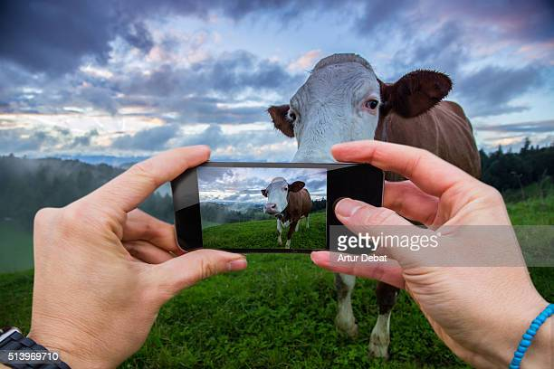Traveller man taking pictures with smartphone from personal point of view of a funny cow in the Switzerland countryside on sunrise.