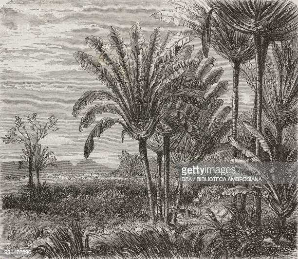 Traveller's palm Madagascar drawing by Evremond de Berard from Travel by Ida Pfeiffer from Il Giro del mondo Journal of geography travel and costumes...