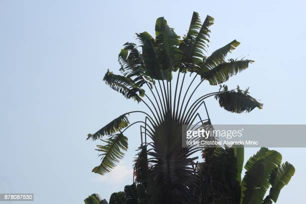 Traveller's Tree or Traveller's Palm  (Ravenala madagascariensis).