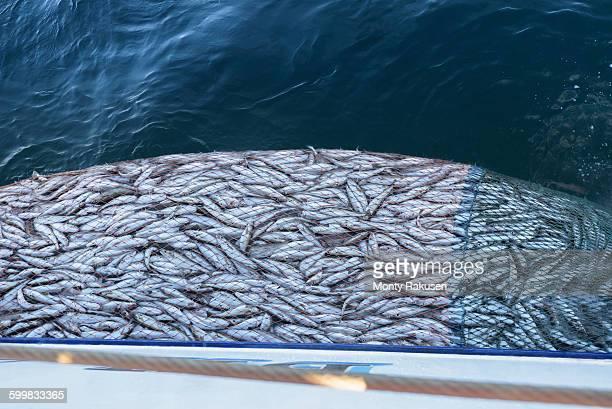 Trawler net full of Whiting fish, Merlangius merlangus, high angle view