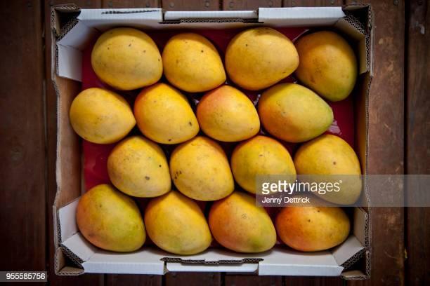 tray of mangoes - mango stock-fotos und bilder