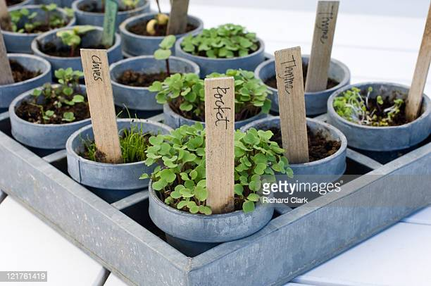 Tray of mixed herb and vegetable seedlings (Part of series)