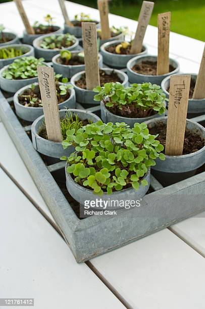 Tray of mixed seedlings in pots (Part of series)