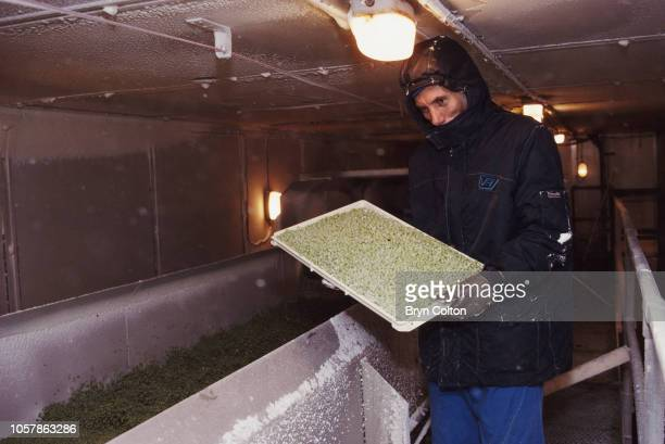 A tray of peas is inspected before they pass through a freezer tunnel set at 35C at the Birds Eye factory The Birds Eye pea harvest underway all the...