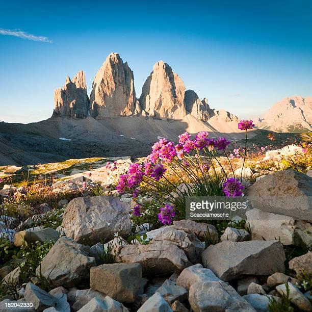 Tre Cimo di Lavaredo et fleurs sauvages