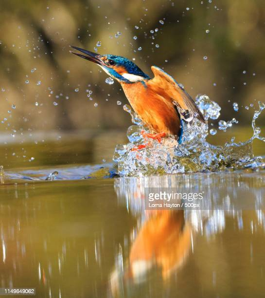 treading water - kingfisher stock pictures, royalty-free photos & images