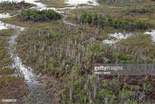 A treated area in the Loxahatchee National Wildlife Refuge shows the bare trunks of dead melaleuca trees near a brown patch of dead fern