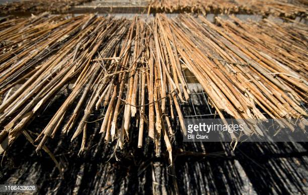 Treated hemp stalks dry outside in the sun before being made into wood flooring at HempWood in Murray Ky on Thursday Sept 5 2019
