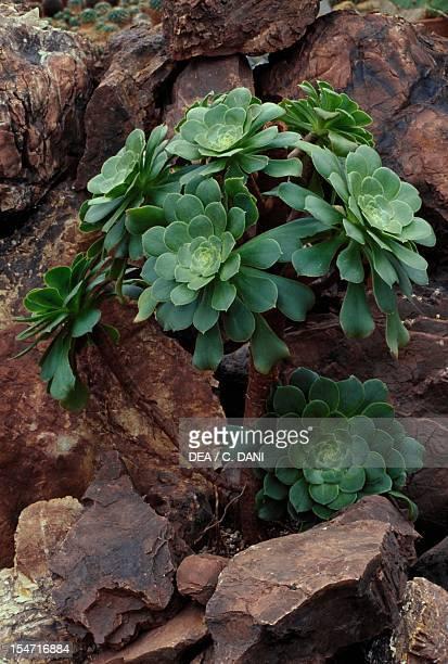 Tree aeonium Crassulaceae