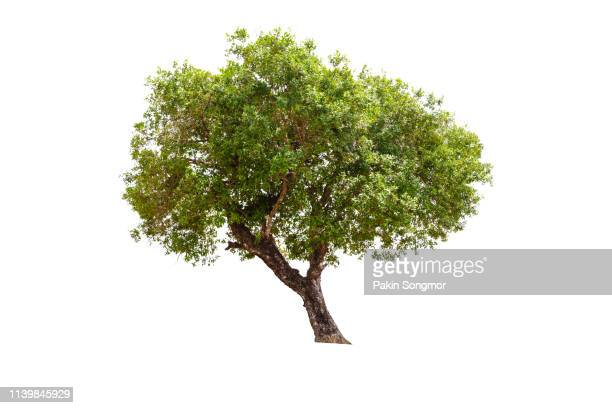 tree against isolate and white background - maple tree stock pictures, royalty-free photos & images
