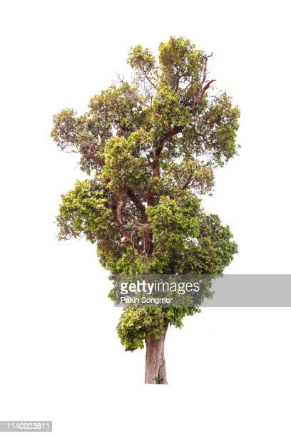 tree against isolate and white background - bush stock pictures, royalty-free photos & images